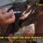 Jenis Vaksin Ayam Aduan Yang Biasa Dilakukan Peternak