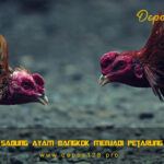 Melatih Sabung Ayam Bangkok Menjadi Petarung Tangguh