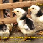 Pakan Anak Ayam Bangkok Agar Berkualitas Super