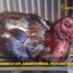 Penyebab Ayam Aduan Terkena Penyakit Ngorok