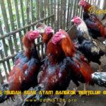 Tips Mudah Agar Ayam Bangkok Bertelur Banyak