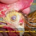 Tips Obat Kurap Ayam Bangkok Aduan Paling Ampuh