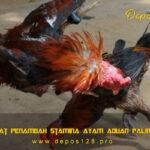 Jenis Obat Penambah Stamina Ayam Aduan Paling Ampuh