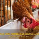 Jenis Pakan Untuk Meningkatkan Kekuatan Ayam Aduan