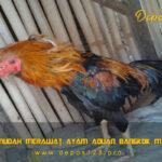 Tips Mudah Merawat Ayam Aduan Bangkok Mabung