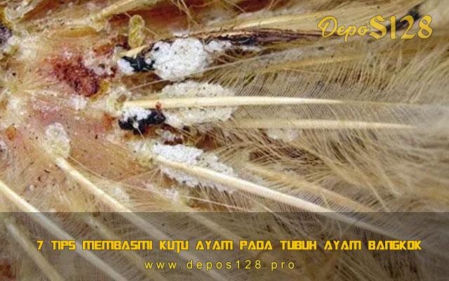 7 Tips Membasmi Kutu Ayam Pada Tubuh Ayam Bangkok