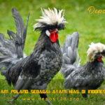Ayam Poland Sebagai Ayam Hias Di Indonesia