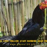Berbagai Cara Melatih Ayam Bangkok Agar Mematikan Dalam Gelanggang