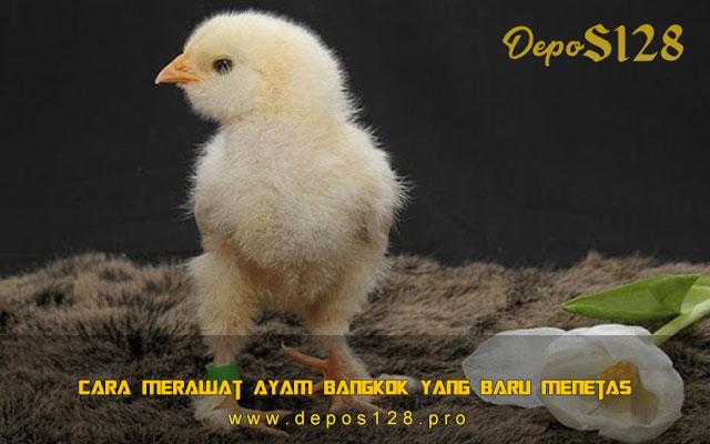 Cara Merawat Ayam Bangkok Yang Baru Menetas