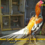 Inilah Berbagai Fakta Sesungguhnya Ayam Bangkok Gombong