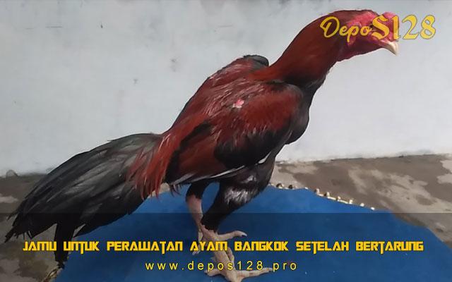 Jamu Untuk Perawatan Ayam Bangkok Setelah Bertarung
