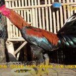 Mengenal Tentang Ayam Ciparage Yang Legendaris
